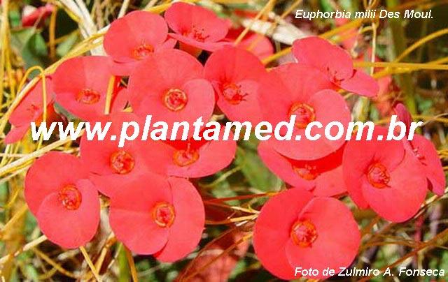 Euphorbia milii Des Moul. - COROA-DE-CRISTO - FOTO 2