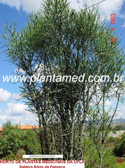 Euphorbia tirucalli L. - Foto 1 - AVELOZ, DEDO-DO-DIABO, PAU-PELADO, almeidinha, árvore-de-são-sebastião, árvore-do-coral-de-são-sebastião, árvore-do-lápis, avelós, cassoneira, cega-olho, coral-de-são-sebastião, coral-verde, coroa-de-cristo, dedinho, dente-de-cão, espinho-de-Cristo, espinho-de-judeu, espinho-italiano, graveto-do-diabo, labirinto, mata-verrugas, pinheirinho, pau-liso, pau-sobre-pau